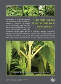 Plants in NanoPics: growing marijuana flowering stage ...